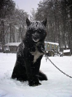black wolf hybrid - Google Search