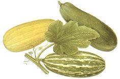 vegetable marrows by carleton500gardener, via Flickr