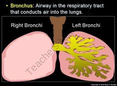 Respiratory Systen, Lungs, Anti-Smoking /Tobacco, Cancer, PowerPoint, HW, Notes and more from Science from Murf on TeachersNotebook.com (750 pages)  - This two part 750 slide PowerPoint includes critical class notes (red slides), built-in hands on activities with instructions and questions, many video links, activity sheets,4 page homework, answer keys, lesson notes with visuals, review games, and much