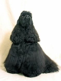 Beautiful black cocker spaniel - Haircut is gorgeous - Wish that the look would be frozen in time - it is so pretty when they are brushed and groomed!