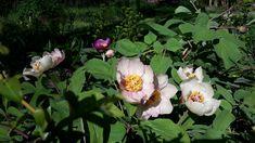 Paeonia daurica mlokosewitchii