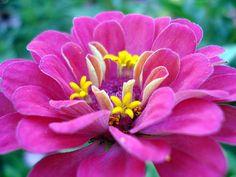 Zinnia  drought tolerant plant
