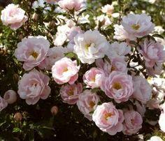 Morsionruusu `Juhannusmorsian´ on viehättävä uutuuslajike. Kesäkuun lopulla hennon vaaleanpunaiset kukat peittävät pensaat. (Kuva: Taimistov...