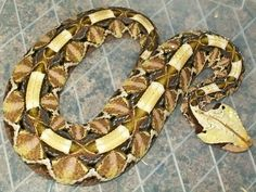 """Im selling this 09 female western gaboon viper! she""""s a stunner and feeding well"""" Pretty Snakes, Beautiful Snakes, Gaboon Viper, Keep Snakes Away, Pit Viper, Snake Venom, Snake Patterns, Rare Animals, Reptiles And Amphibians"""