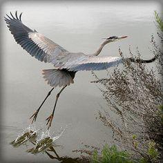Heron Departing 3