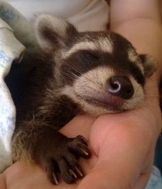 Omg is this a Raccoon?