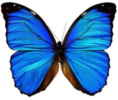 INKWEAR Blue Butterfly Tattoo ❤ I want these colors for my tat Fake Tattoos, Body Art Tattoos, I Tattoo, Tatoos, Temp Tattoo, Blue Butterfly Tattoo, Butterfly Painting, Tattoo Transfers, Blue Morpho