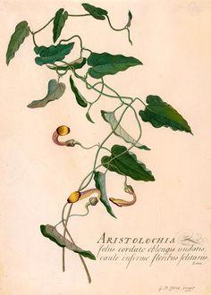 Georg Dionysius Ehret | Aristolochia barbata | 1761 | The Morgan Library & Museum