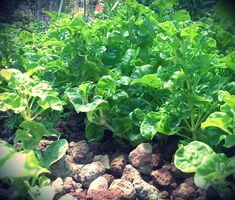 Sissoo Spinach or Brazil Spinach grows like a ground cover and tastes like spinach! It tolerates heat. Perfect for edible landscaping or a survival garden. Fruit Trees, Trees To Plant, Leaf Vegetable, Different Plants, Aquaponics System, Garden Borders, Landscape Plans, Spinach, Survival