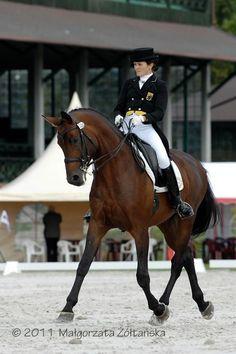 Dressage trakehner stallion   Horses For Sale   Epona Exchange