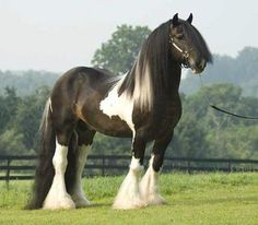 I don't know what kind of horse this is but it is beauriful ! After I pinned this I Was told this is a Shire Horse .