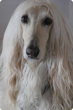 This Afghan Hound looks absolutely stunning! Such an elegant dog