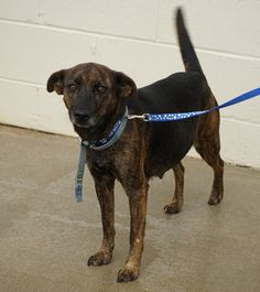 ***SUPER SUPER URGENT!!!*** - PLEASE SAVE NICKY!! - EU DATE: 3/6/2015 -- Nicky Breed:Terrier (mix breed) Age: Young adult Gender: Female Size: Medium Special needs: hasShots, Special needs: specialNeeds, Shelter Information: Toccoa-Stephens County Humane Shelter 1747 Scenic Dr.  Toccoa, GA Shelter dog ID: 24157577 Contacts: Phone: 706 282-3275 Name: Jeffrey Roberts email: Info@TSCHS.org  Read more at http://www.dogsindanger.com/dog/1418060911012#a1tcPHB7tCKpgxwl.99