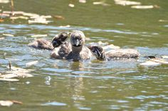 A mother sea otter holding on to her pup Sea Otter, Big Hugs, Otters, Pup, Wildlife, Bird, Photography, Otter, Puppies