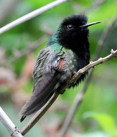 Eupherusa nigriventris - Black-bellied Hummingbird   DSC_8322ps copy by stephen.hinshaw, via Flickr
