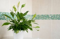 Keep your bathroom air fresh with these beautiful air-purifying plants