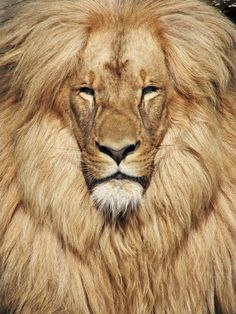 The color of a lions mane appears to depend on age, genetics and hormone levels. Typically, the darker the mane, the older the lion