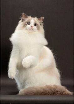 Blue Bicolor Ragdoll cute cat