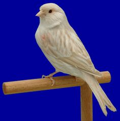 canary | green wild canary ino red mosaic canary isabel canary onyx canary opal ...
