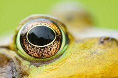 green frog's eye