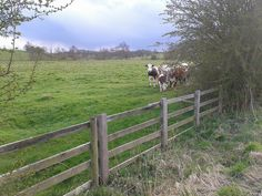 """The Stalker Cows of Howsham - I was running past a field with some cows.  They looked at me - I looked at them and said """"hello"""".  They started to follow me so i sped up a bit... so did they... I now had loads of galloping cows chasing me down the road!  I stopped to get a photo and they stopped too... edging closely out behind the trees to see what i'm up to.  There's about 20 cows behind these  front ones. :o)"""