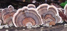 Turkey tail is one example of the 200 varieties of mushrooms and fungus that can be found in this old growth redwood forest.