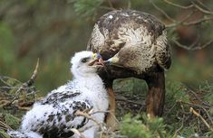 A golden eagle feeds its chick on their nest in remote marshland near Konny Bor, Belarus, Photograph by Vasily Fedosenko for Reuters - Pixdaus