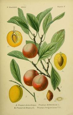 img/dessins arbres arbrisseaux/dessins arbres et arbrisseaux 0051 prunier de briancon - prunus brigantiaca.jpg