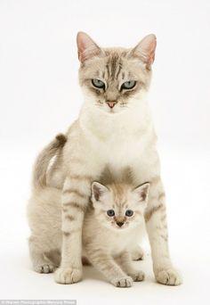 A Birman-cross mother cat and her kitten were seen getting playful for the stunning photos...