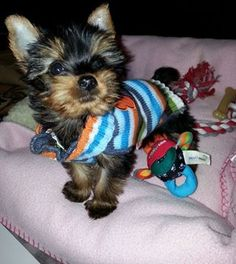 Cute striped sweater Yorkie, Yorkshire Terrier, Dog