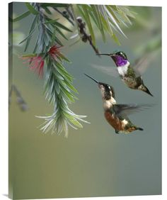 Buy Feng Shui painting White-Bellied Woodstar Hummingbird Male and Female Feeding on Flower, and invite new love into your space with its joyful message.