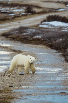 Want to see polar bears in Canada? Read my guide to polar bear spotting in Churchill, Manitoba. Careful cause basically anything with a pulse is Polar bear food! You can visit the Canadian tundra and see the awe-inspiring polar bears and their babies (from a safe distance of course!). | Canada Travel | Nature Travel