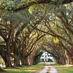 Majestic live oaks wearing green sleeves of resurrection ferns and cuffs of Spanish moss, form passageways to the past...