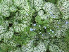 Brunnera macrophylla - Jack Frost - perennial of 2012 - loves shade, striking silvery-green leaves, small blue flowers - easy to grow