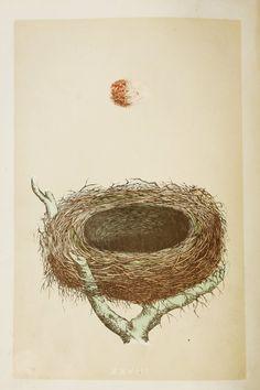 Red Backed Shrike Nest & Eggs Reverend Morris by PaperPopinjay