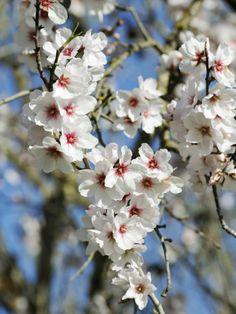 Almond Trees Blooming with Flowers, Loule, Algarve, Portugal