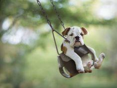 Baby Bulldog in baby swing! I.Die.