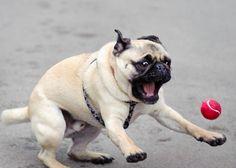 I WANT THE BALL! #pug