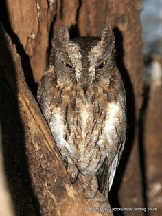 """Here's a bird with a very interesting name. Called the Torotoroka Scops Owl, it is found only in the forests of Madagascar and is so-named due its very distinctive, """"turuk turuk"""" call. Adam Riley photographed this bird in the Ankarafantsika National Park (Ampijoroa)."""