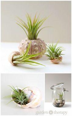 Sea urchin and seashells - How to plant an air plant sea shell terrarium