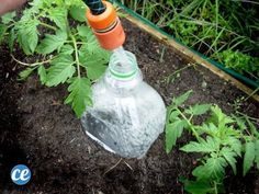 Slow release watering - plastic bottles, with just a few holes buried next to your plants. For containers or raised beds. Good alternative to a drip hose, esp for remote locations. I'd bury the bottle deeper though, it looks trashy sticking up. Organic Gardening, Gardening Tips, Liquid Fertilizer, Drip Irrigation, My Secret Garden, Raised Beds, Plastic Bottles, Water Bottles, Herb Garden