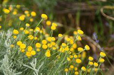 Hamvas cipruska (Santolina chamaecyparissus) Ale, Garden, Flowers, Plants, Garten, Ale Beer, Lawn And Garden, Gardens, Plant