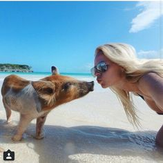 Swimming pigs -Bahamas