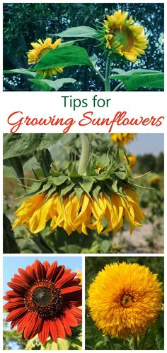 Growing Sunflowers   How To Grow And Care For Sunflower Plants