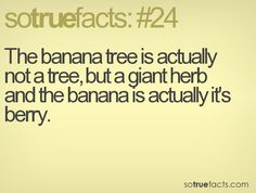 The banana tree is actually not a tree, but a giant herb and the banana is actually it's berry.