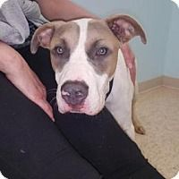 Anatolian Shepherd/Pit Bull Terrier Mix Dog for adoption in New York, New York - Denham