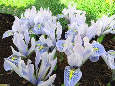 Iris Specie Sheila Ann Germany