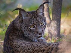 Control sobre otros depredadores Lynx, Control, Panther, Cute Animals, Kitty, Big, Drawings, Goal, Wild Animals
