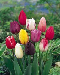 Tulip Bulbs – from Nature Hills Nursery
