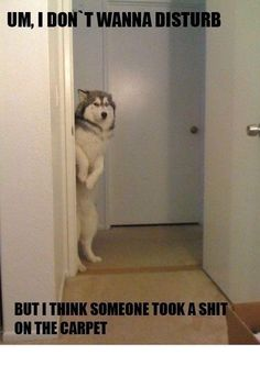 = my dog. well he doesn't shit on the carpet, but he would do this. Looks just like him too...